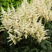 Astilbe Vision in White photo courtesy of Walters Gardens