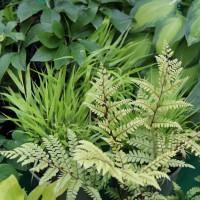 Athyrium otophorum 'Limelight Lady' photo Whitehouse Perennials