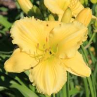 Daylily 'Atlanta Bouquet'