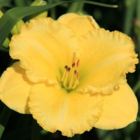 Daylily 'Atlanta Rufflette' photo Whitehouse Perennials Nursery