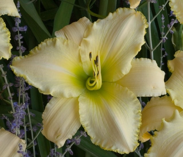 Daylily 'August Frost' Photo courtesy of Walters Gardens