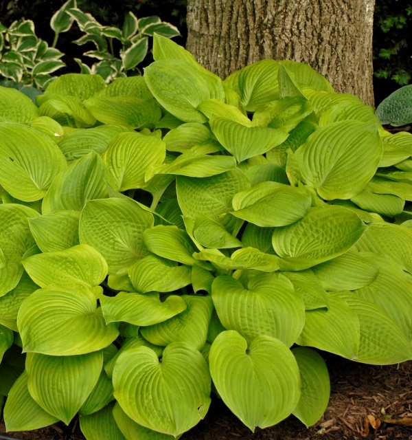 Hosta 'August Moon' Photo courtesy of Walters Gardens