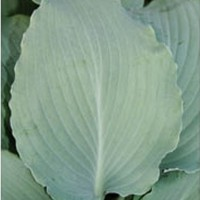 Hosta 'Azure Frills' photo courtesy of Q and Z Nursery