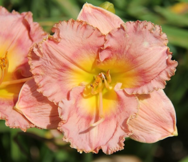 Daylily 'Band of Gypsies' photo Whitehouse Perennials Nursery