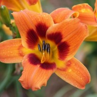 Daylily 'Bandit Man' photo Whitehouse Perennials Nursery