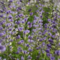 Baptisia 'Blue Bubbly' photo courtesy of Walters Gardens