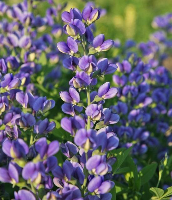 Baptisia 'Blueberry Sundae' photo courtesy of Walters Gardens