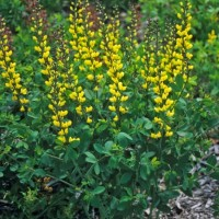 Baptisia 'Lemon Meringue' photo courtesy of Walters Gardens