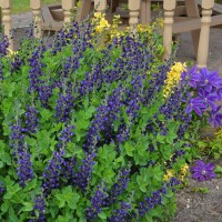 Baptisia 'Sparkling Sapphires' photo courtesy of Walters Gardens