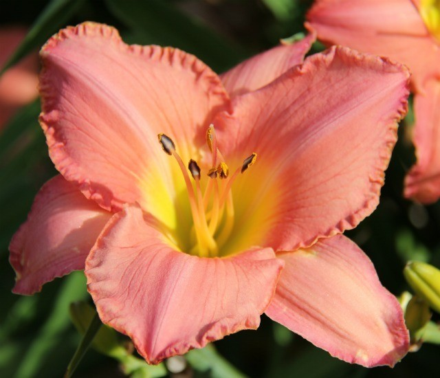 Daylily 'Bathsheba' photo Whitehouse Nursery