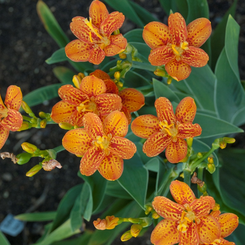 Photo of Belamacanda 'Freckle Face' courtesy of Walters Gardens
