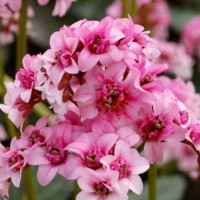 Bergenia 'Sakura' photo courtesy of Terra Nova Nurseries