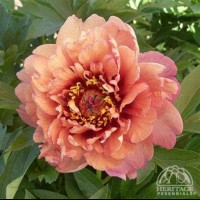 Peony 'Barry Garcia' photo courtesy of Valleybrook Gardens