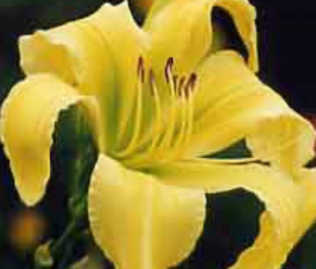 Daylily 'Big Bird'