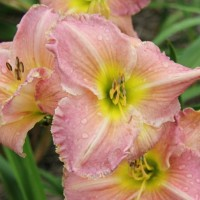 Daylily 'Big Blue' photo Whitehouse Perennials Nursery