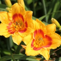 Daylily 'Blackberry Sherbet' photo Whitehouse Perennials Nursery