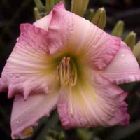 Daylily 'Blossom Queen'