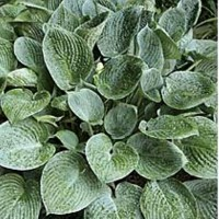 Photo of Hosta Blue Hawaii
