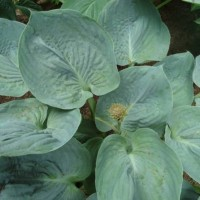 Hosta 'Blue Wu' photo courtesy of Naylor Creek Nursery