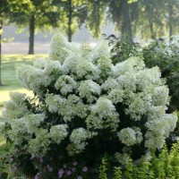 Hydrangea 'Bobo' Photo courtesy of Proven Winners