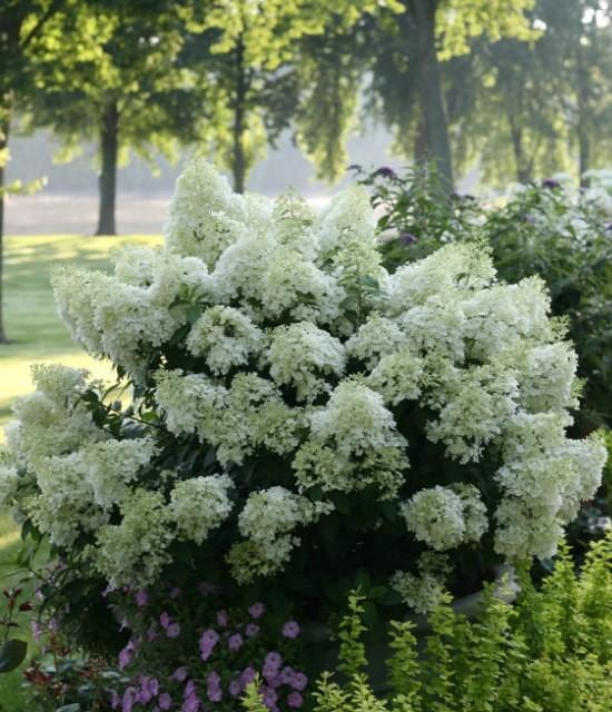 Hydrangea 'Bobo' Photo courtesy of Proven Winners