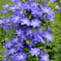 Clematis 'Brother Stefan' photo courtesy of Proven Winners