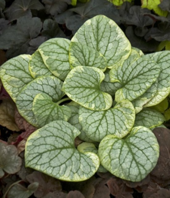 Brunnera macrophylla 'King's Ransom' photo courtesy of Walters Gardens