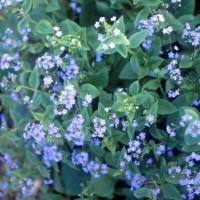 Brunnera macrophylla photo courtesy of Walters Gardens
