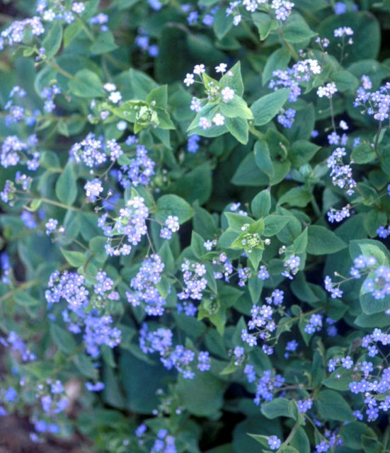 Brunnera macrophylla photo courtesy of Walters Gardens
