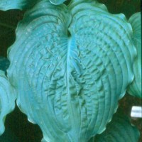 Hosta 'Brutus' Photo courtesy of Greenhill Farm