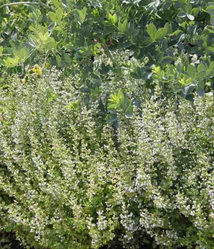 Calamintha nepeta spp nepata photo Suzanne Patry