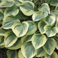 Hosta 'Cameo' Photo Courtesy of Walters Gardens