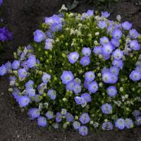 Campanula 'Delft Teacups' photo courtesy of Walters Gardens