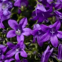 Campanula 'Clockwise Deep Blue' photo courtesy of Syngenta Flowers