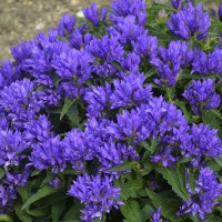 Campanula glomerata 'Genti Blue' photo courtesy of Walters Gardens