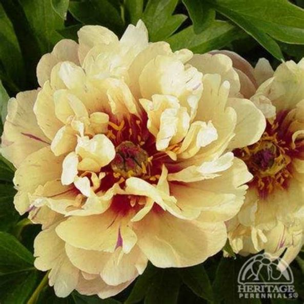 Peony 'Candy Cane' photo courtesy of Valleybrook Gardens