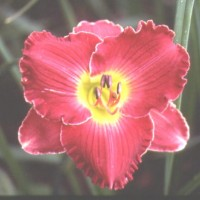 Daylily 'Captain Ahab' photo Whitehouse Perennials Nursery and Display Gardens