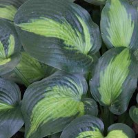 Hosta 'Captain Kirk' photo Whitehouse Perennials Nursery and Display Gardens