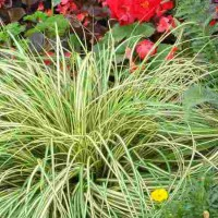 Carex hachijoensis 'Evergold' photo courtesy of Walters Gardens