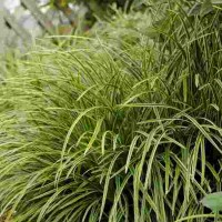 Carex morrowii Ice Dance photo courtesy of Walters Gardens
