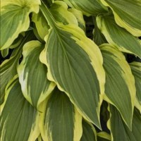 Hosta 'Carolina Sunshine' Photo courtesy of Walters Gardens