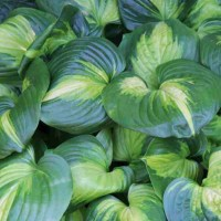 Hosta 'Cathedral Windows' Photo Whitehouse Perennials Nursery and Display Gardens