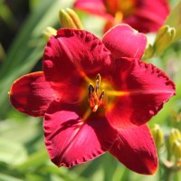 Daylily 'Caught Red Handed' photo Suzanne Patry