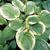Hosta 'Celestial' Photo courtesy of Q and Z Nursery