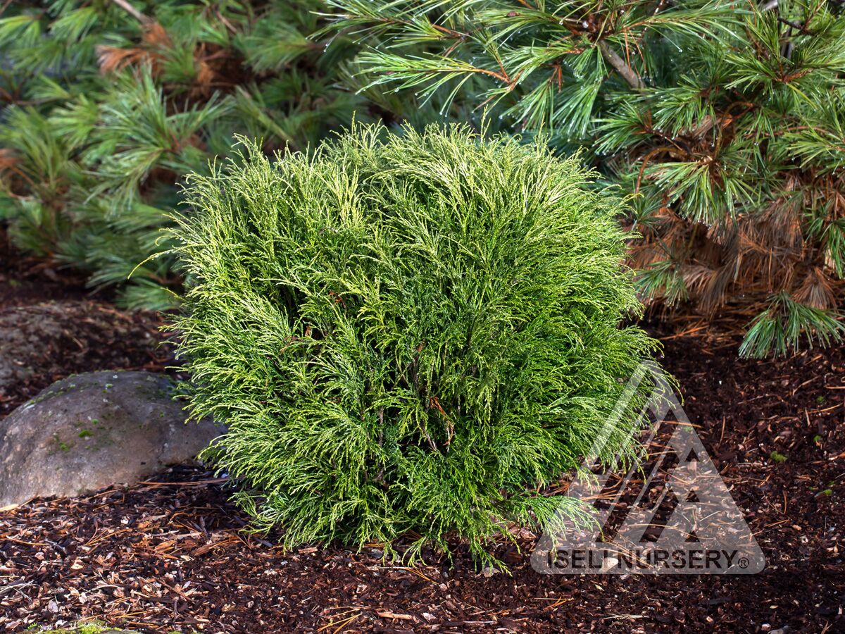 Chamaecyparis pisifera 'Angel Hair' photo courtesy of Iseli Nursery