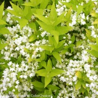 Deutzia 'Chardonnay Pearls' photo courtesy of Proven Winners