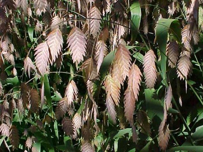 Chasmanthium latifolium photo Missouri Botanical Gardens