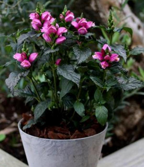 Chelone 'Tiny Tortuga' photo courtesy of Paridon Horticultural