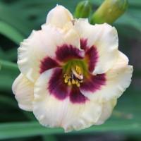 Daylily 'Child Within' photo Whitehouse Perennials