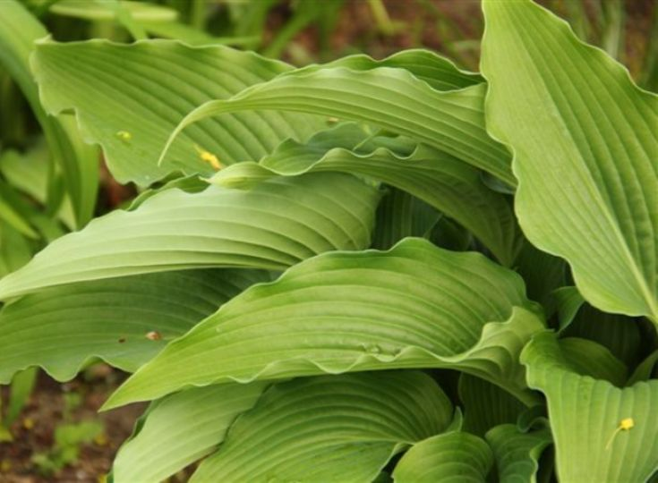 Hosta 'Childhood Fantasy' photo courtesy of Naylor Creek Nursery